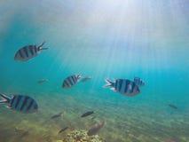 浅水区的热带鱼军士在阳光下 与珊瑚的水下的照片钓鱼殖民地 库存图片