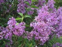 浅紫色的丁香 免版税库存图片