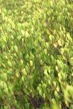 浅绿色的事假植物 库存图片