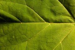 浅绿色的叶子作为自然本底 库存图片