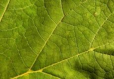 浅绿色的叶子作为自然本底 图库摄影