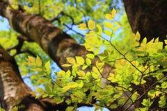 浅绿色的叶子 免版税库存照片