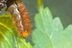 浅黄色的白鼬毛皮飞蛾的毛茸的棕色毛虫 库存图片