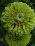 浅绿色的花,一些花粉 库存图片