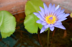 浅紫色的莲花,荷花在池塘 免版税库存照片