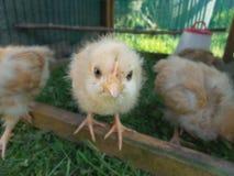 浅黄色的ORPINGTON小鸡-什么看在照相机的您面孔 库存图片