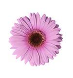 浅紫色花的大丁草 免版税库存图片