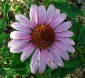 浅紫色花的大丁草 免版税库存照片