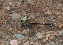 浅滩Snaketail 库存图片