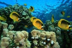 浅butterflyfish的珊瑚礁 图库摄影