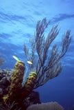 浅caribe的礁石 库存图片