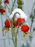 浆果下雪下 库存照片