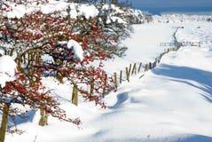 浆果冬天 库存图片