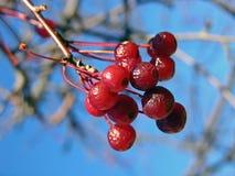 浆果冬天 库存照片