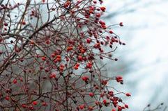 浆果冻结的冬天 库存图片