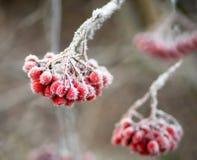浆果冻结的花揪 库存图片
