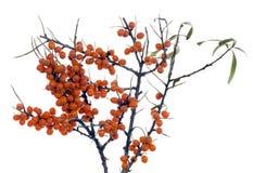 浆果分行鼠李海运冬天 库存图片
