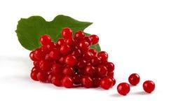 浆果叶子红色荚莲属的植物 免版税库存照片