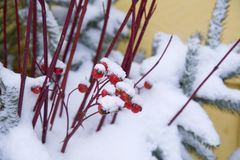 浆果圣诞节 库存图片