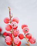 浆果在冬天(枸子属植物) 库存照片