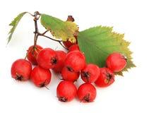 浆果山楂红色 库存图片