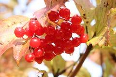 浆果成熟雪球结构树荚莲属的植物 免版税图库摄影