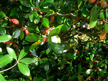 浆果抽签红色 免版税库存图片