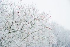 浆果接近的蔓越桔水多的成熟冬天 库存图片