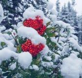 浆果接近的蔓越桔水多的成熟冬天 免版税库存照片