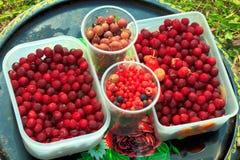 浆果收获 免版税库存图片