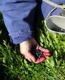 浆果收集夏天 图库摄影