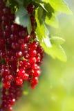 浆果无核小葡萄干收获红色 免版税图库摄影