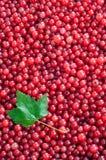 浆果无核小葡萄干红色 库存图片