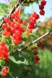 浆果无核小葡萄干仍然生活红色 免版税库存图片
