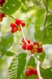 浆果无核小葡萄干仍然生活红色 免版税库存照片