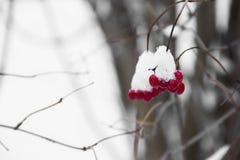 浆果明亮的红色 库存照片