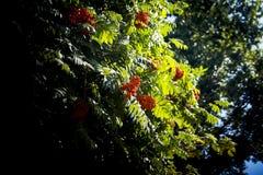 浆果明亮的花揪结构树 图库摄影