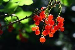 浆果束无核小葡萄干红色 图库摄影