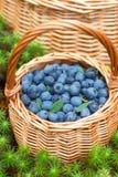浆果森林可实现例证的照片 成熟水多的蓝莓和忍冬属植物在篮子在秋天森林里 图库摄影