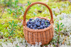 浆果森林可实现例证的照片 成熟水多的蓝莓和忍冬属植物在篮子在秋天森林里 免版税库存照片