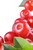 浆果樱桃查出空白的叶子 库存图片
