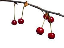 浆果樱桃 免版税图库摄影