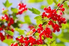 浆果灌木无核小葡萄干红色 库存图片