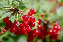 浆果灌木无核小葡萄干红色 库存照片