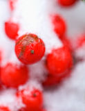 浆果红色冬天 免版税图库摄影