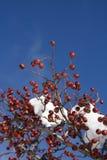 浆果红色多雪的结构树 免版税图库摄影