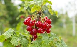 浆果红色成熟 免版税库存图片