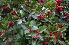 浆果红色灌木 库存照片