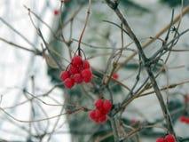 浆果红色荚莲属的植物冬天 免版税库存图片