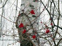 浆果红色荚莲属的植物冬天 库存图片